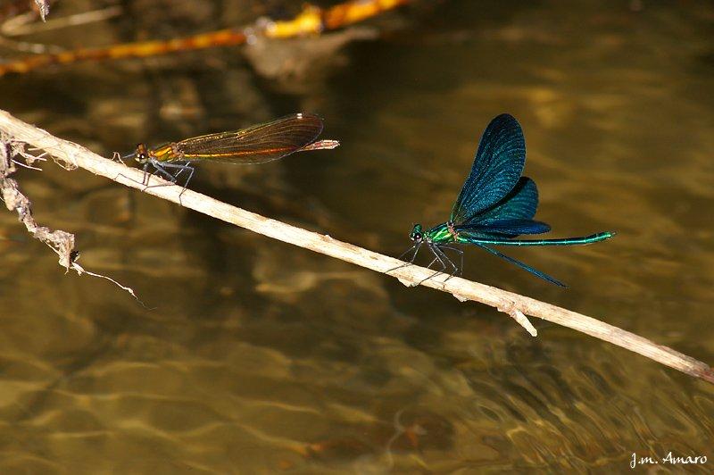 200806couplecalopteryx01.jpg