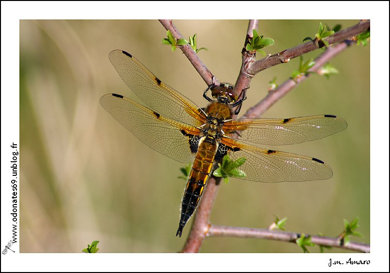 20090418quadrimaculata04.jpg