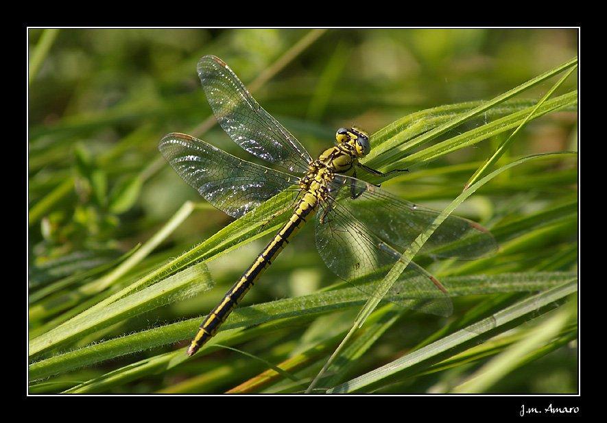 20090519gomphuspulchellusf02.jpg