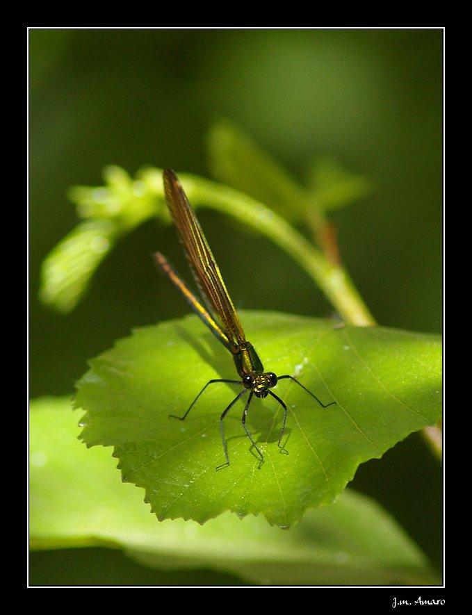20090524calopteryxvirgof01.jpg