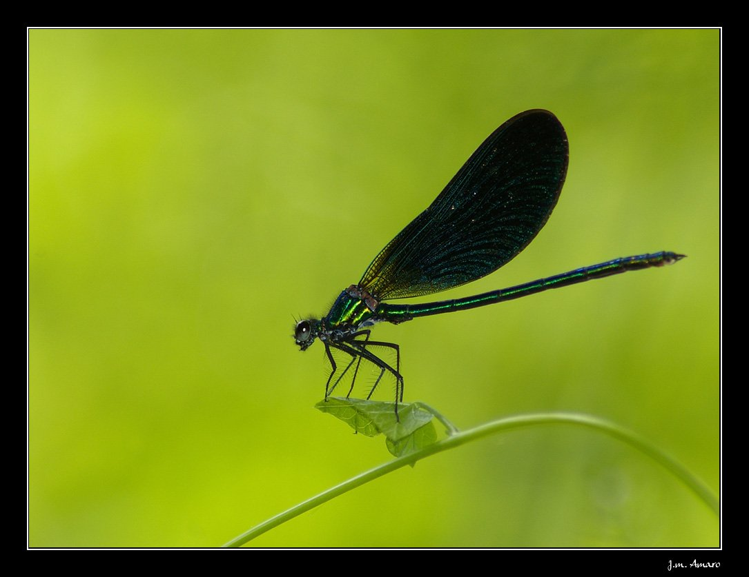 20090524calopteryxvirgom01.jpg