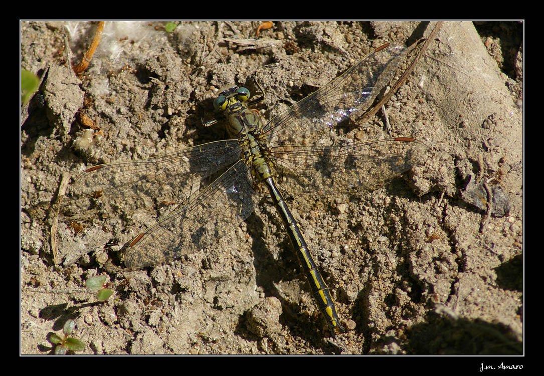 20090529gomphuspulchellusm03.jpg