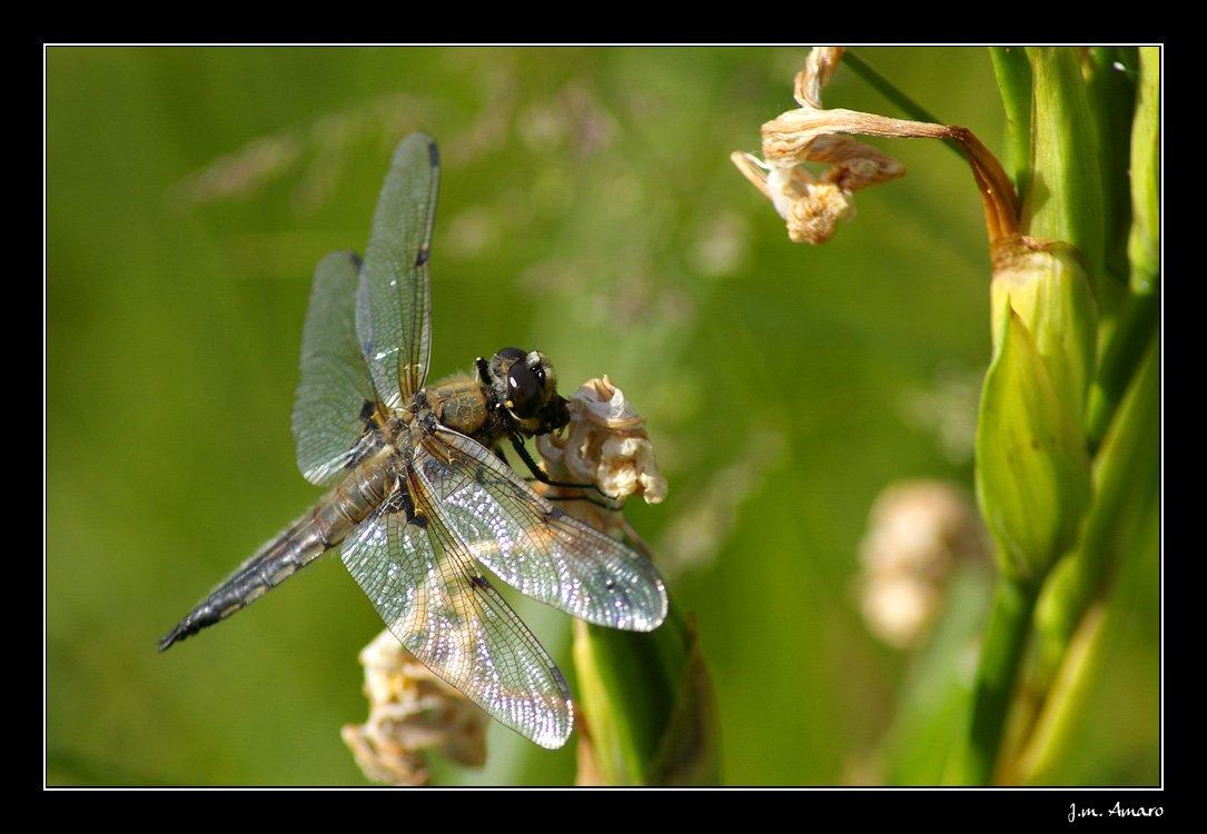 20090529quadrimaculata01.jpg