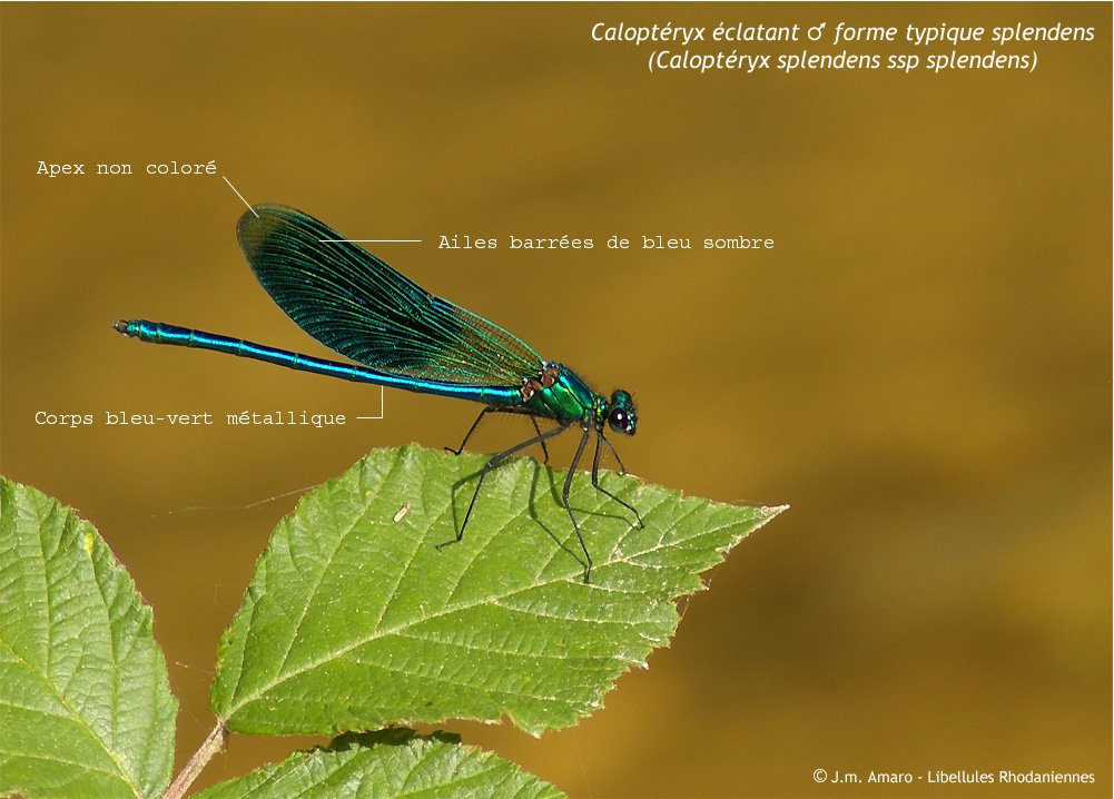 calopteryxeclatantident01.jpg