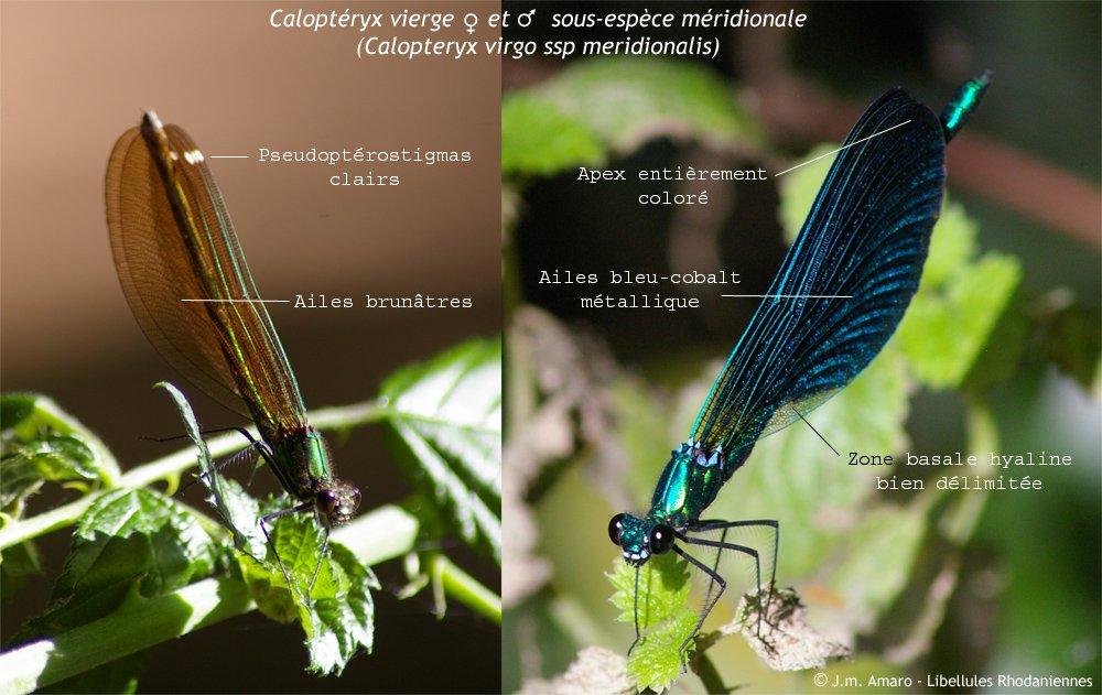 calopteryxviergeident01.jpg