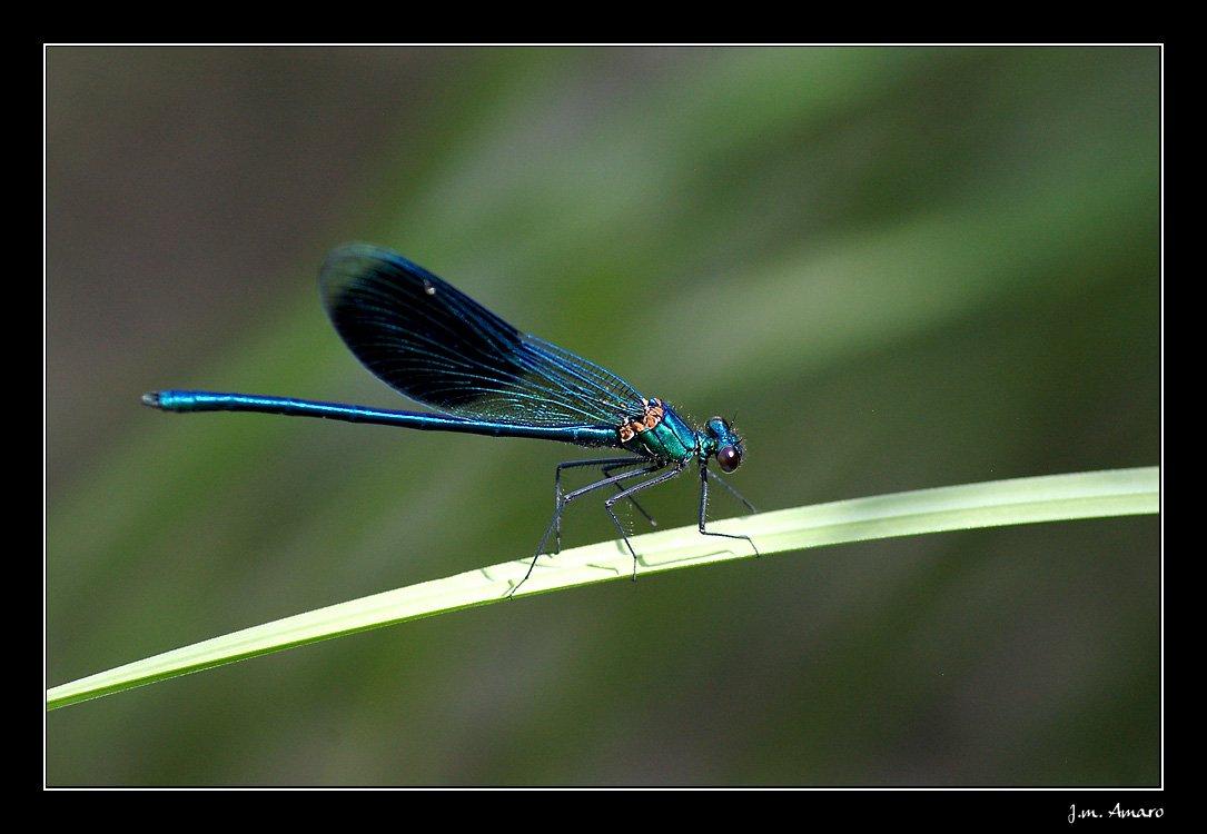 20090614calopteryxsplendens01.jpg
