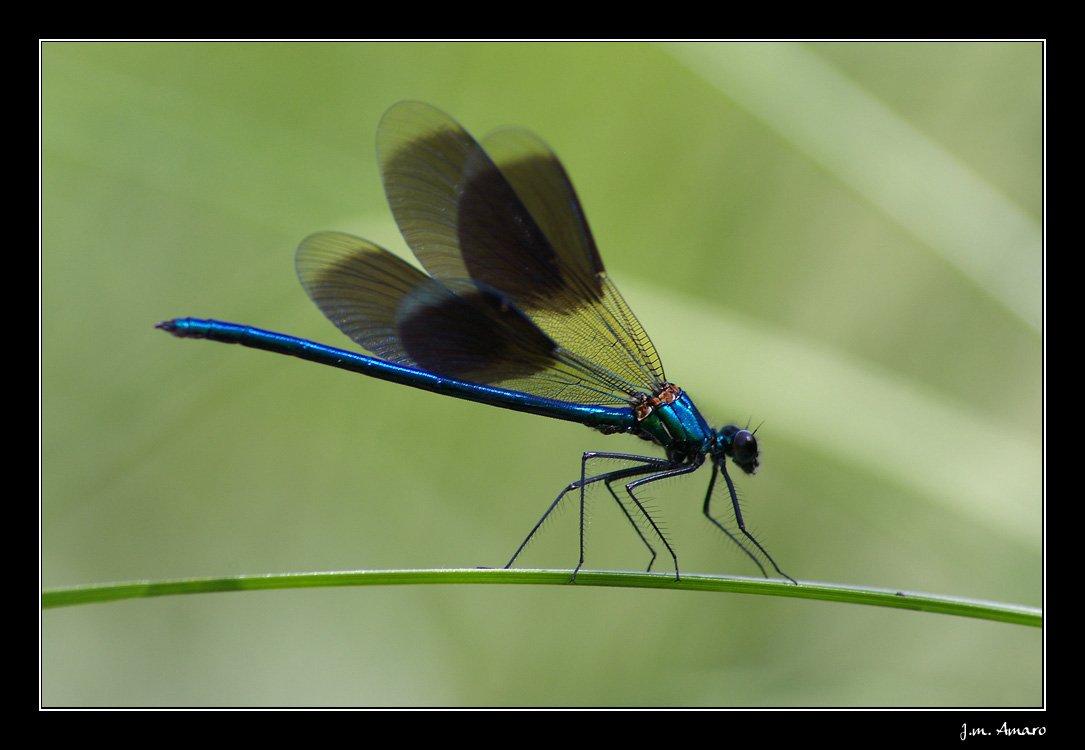 20090614calopteryxsplendens02.jpg