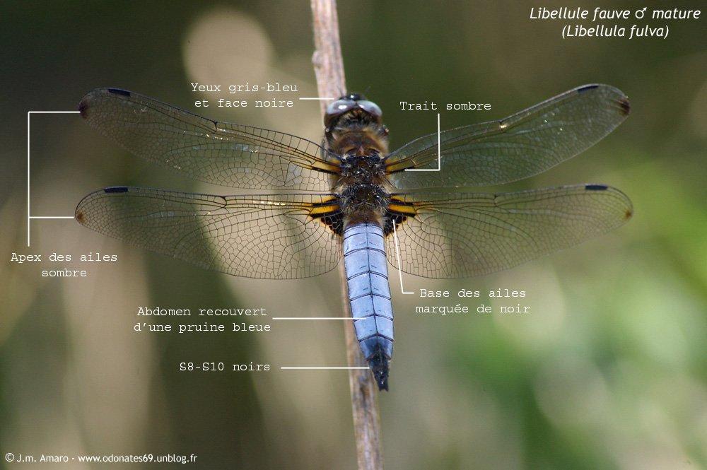 libellulefauvemident02.jpg