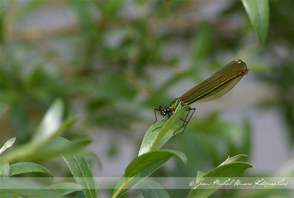 20100508calopteryx01.jpg