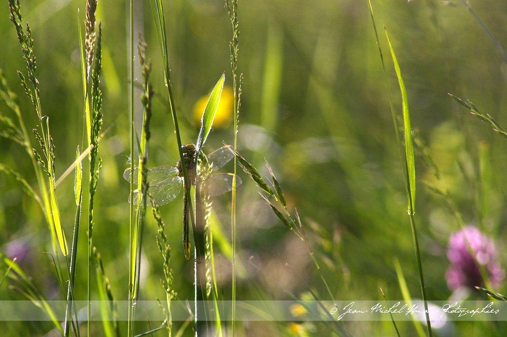 20100523gomphuspulchellus02.jpg