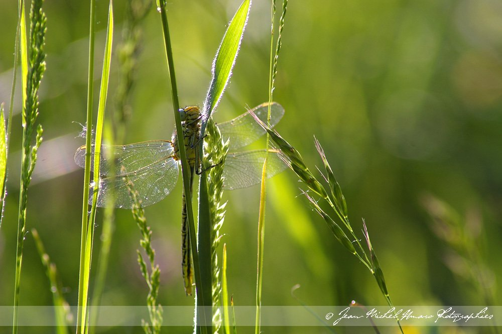 20100523gomphuspulchellus03.jpg