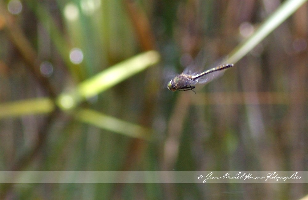 20100531corduliaaenea01.jpg