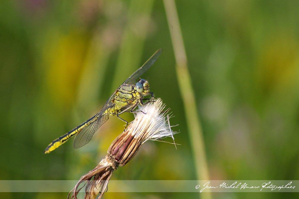 20100605gomphuspulchellus02.jpg