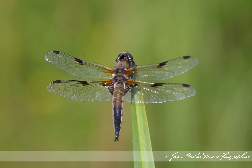 20100605libellulaquadrimaculata02.jpg